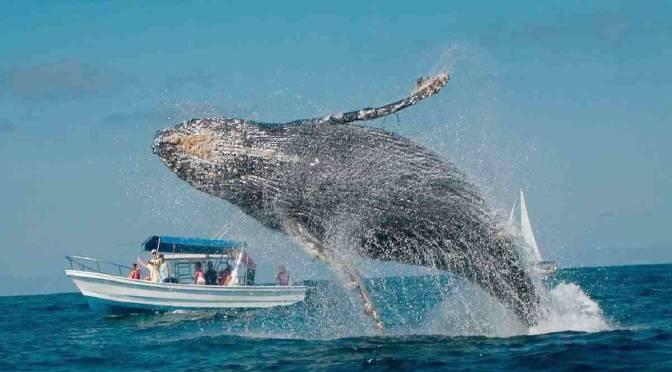 Comienza el avistamiento de ballenas jorobadas en Ecuador