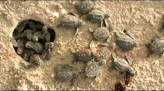 Aparece nido de tortuga golfina en Esmeraldas