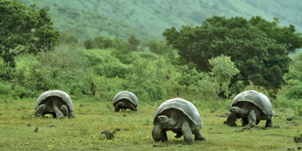 Roban 123 crías de tortuga gigante en Galápagos