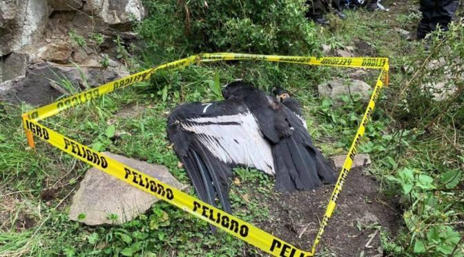 Encuentran dos cóndores con posible envenamiento en Cotopaxi