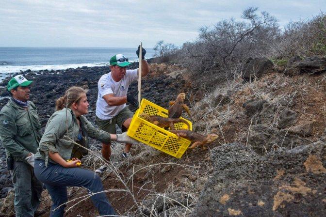 Más de mil iguanas regresan a la isla Santiago de Galápagos